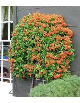 Pyracantha mohave - Пираканта - височина на растението - 0.2 - 0.4 м.