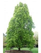 Quercus robur 'Fastigiata'  - дъб - приблизителни размери - 140 - 180 см.