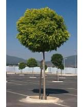 Robinia pseudoacacia umbraculifera - акация кълбовидна - приблизителни размери - 200 - 220 см.