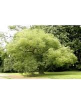 Sophora japonica - японска акация - приблизителни размери - 200 - 225 см.