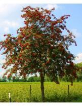 Sorbus aucuparia - сорбус аукупариа, калина - приблизителни размери - 180 - 200 см.
