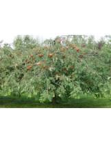 Sorbus aucuparia 'Pendula'  - калина (плачеща) - приблизителни размери - 100 - 140 см.