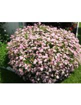 Spiraea japonica 'Little Princess'  - СПИРЕЯ - приблизителни размери - 0.2 - 0.4 м.