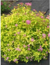 Spiraea japonica 'Golden Princess'  - СПИРЕЯ - приблизителни размери - 20 - 40 см.