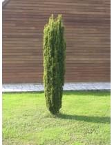Taxus baccata 'Fastigiata Aurea' - височина -  20 - 30 см.