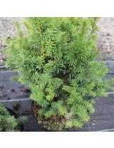 Taxus baccata 'Overeynderi' - височина -  20 - 40 см.