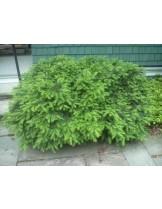 Taxus baccata 'Repandens'  - височина -  10 - 20 см.