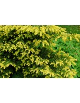 Taxus baccata 'Repandens Aurea'  - височина -  15 - 20 см.