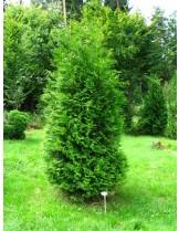 Thuja occidentalis 'Brabant' - Туя барбант - височина -  60 - 80 см.