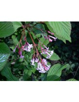 Viburnum fragrans - вибурнум - приблизителни размери - 20 - 40 см.