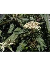 Viburnum rhytidophyllum - вибурнум - приблизителни размери - 20 - 40 см.