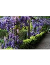 Wisteria chinensis - Вистерия - височина на растението - 0.2 - 0.4 м.
