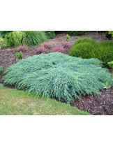 "Juniperus squamata ""Blue Carpet"" - Хвоина джуниперус - височина -  30 - 40 см."