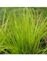 "Acorus garminerus ""Hakuro Nishiki"" - височина на растението - Акорус тревист аир - 0.1 - 0.2 м."