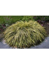"Acorus garminerus ""Ogon"" - Акорус тревист аир - височина на растението - 0.1 - 0.2 м."