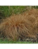 """Carex comans """"Bronze Perfection"""" - Карекс, острица - височина на растението - 0.2 - 0.3 м."""