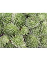 """Sempervivum """"Green"""" - Семпервивум, Дебелец, Бабин квас - височина на растението - 0.1 м."""
