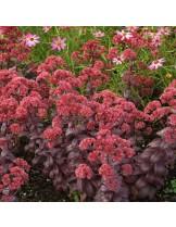 """Sedum """"Desert Red"""" - Седум - височина на растението - 0.1 - 0.2 м."""