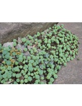 Sedum pachyclados  - Седум - приблизителни размери  - 5 - 15 см.