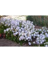 "Campanula cochleariifolia ""Elizabeth Oliver"" - Кампанула  - височина на растението -  0.1 - 0.2 м."