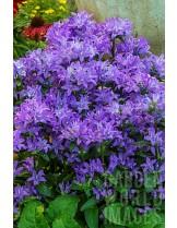 "Campanula cochleariifolia ""Freya"" - Кампанула - височина на растението - 0.1 - 0.2 м."