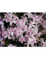 """Phlox subulata """"Candy Stripe"""" - флокс (пълзящ) - височина на растението -  0.1 - 0.2 м."""
