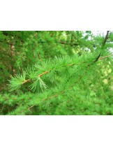 Larix europea  - Ларикс, европейска лиственица - височина - 0.4 - 0.6 м.