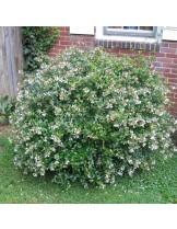 Abelia grandiflora - Абелия - приблизителни размери - 20 - 40 см.