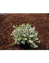 Winterheide 'Isabell' - ерика бяла -  приблизителни размери - 15 - 20 см.