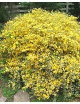 Kerria japonica 'Picta' - Керия - приблизителни размери - 15 - 20 см