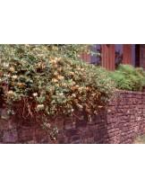 Lonicera japonica 'Purpurea' - лоницерея - приблизителни размери - 20 - 40 см.