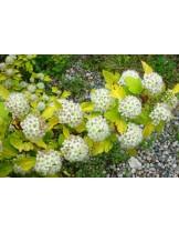 Physocarpus opulifolius 'Gold'  - Физокарпус - приблизителни размери - 20 - 40 см.