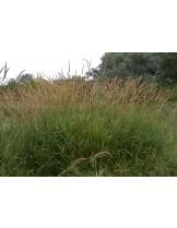 Phalaris arundinacea - Паларис - приблизителни размери - 15 - 25 см.