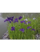 Японски воден ирис Iris Ensata Kaempferi