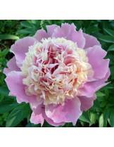 Божур Sorbet Peonia - розов - 1  брой грудка
