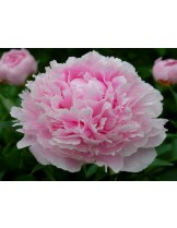 Божур Taff Peonia - розов - 1  брой грудка
