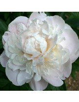 Божур Gardenia Peonia - бял - 1  брой грудка