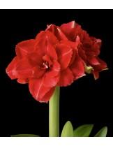 Амарилис Double Red Nymph - 1 брой луковица