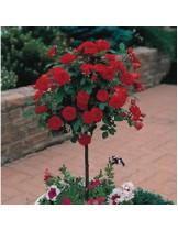 Роза - nina vajbul - на присадка - 1.2 - 1.3 м.