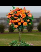 Роза - monika - на присадка - 1.2 - 1.3 м.