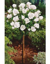 Роза - kent - на присадка - 1.2 - 1.3 м.