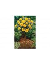 Роза - landora - на присадка - 1.2 - 1.3 м.