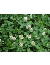 Тревна смеска -Бяла детелина - тревна смес  за градини, паркове и пасища - 0.1 kg