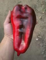"""Пипер -  сорт """"Слонско ухо"""" - страхотния сръбски гигант с уникален вкус - 1 гр. -  - около 120 - 150 бр. Семена"""